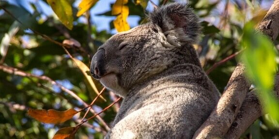 S. Australia Kangaroo